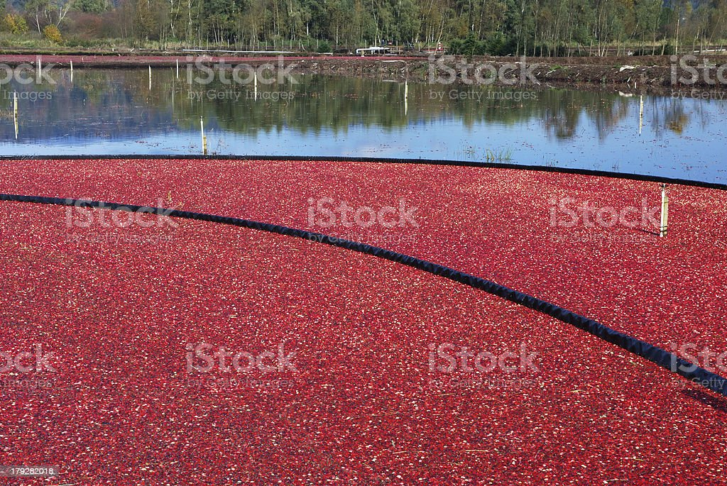 cranberry bog in harvesting season stock photo