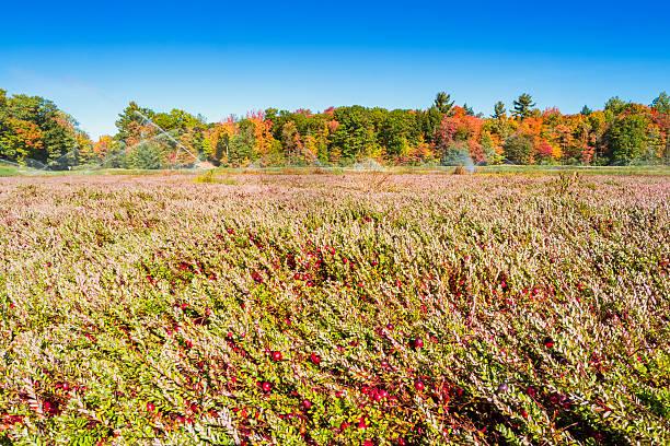cranberry bog with ripe cranberries - caernarfon and merionethshire stockfoto's en -beelden