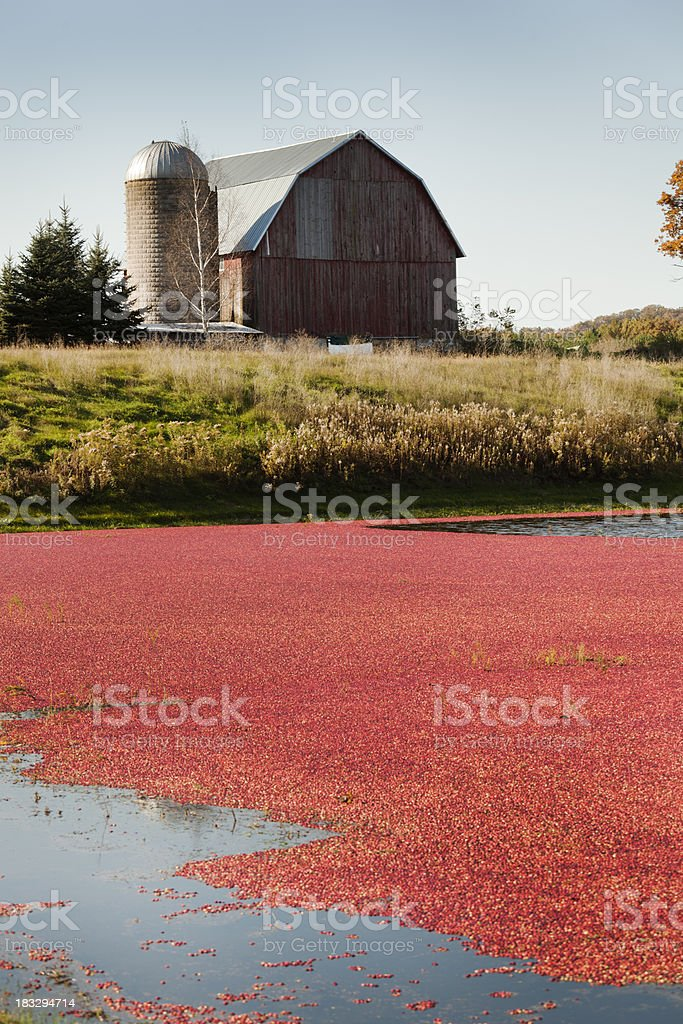 Cranberry Farm Field with Red Barn and Silo in Background royalty-free stock photo