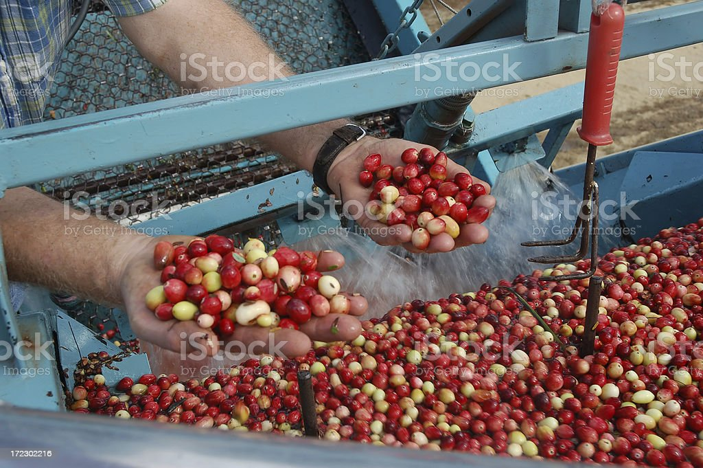 Cranberry harvest in NJ royalty-free stock photo