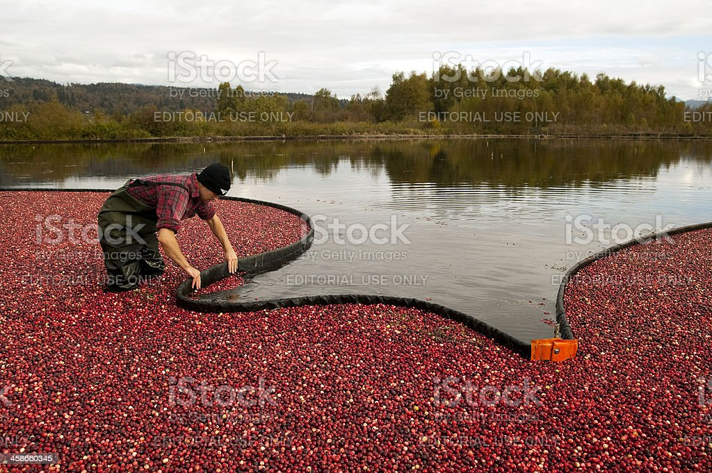 cranberry harvest royalty-free stock photo