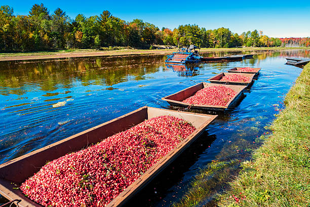 cranberry harvest - caernarfon and merionethshire stockfoto's en -beelden