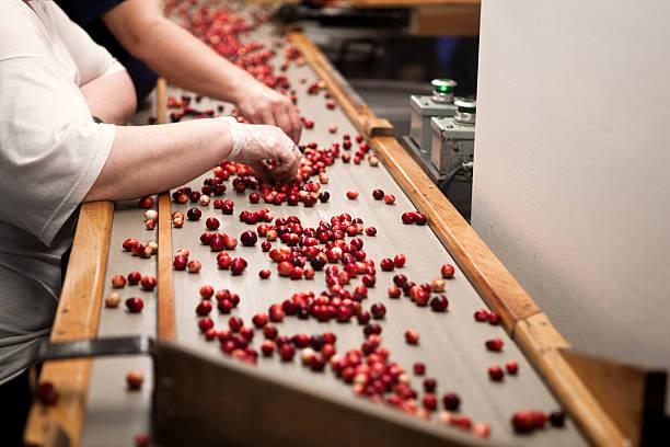 cosecha de arándanos sorters - arándano rojo fruta baya fotografías e imágenes de stock