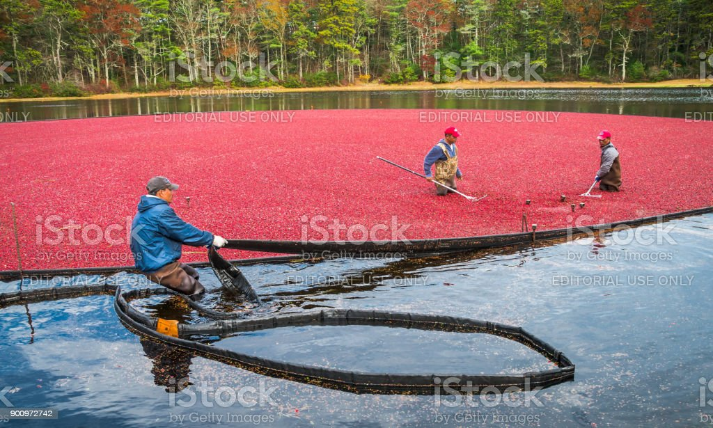 Cranberry Harvest Team stock photo