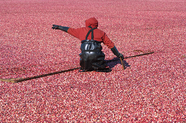 Cranberry Harvester stock photo