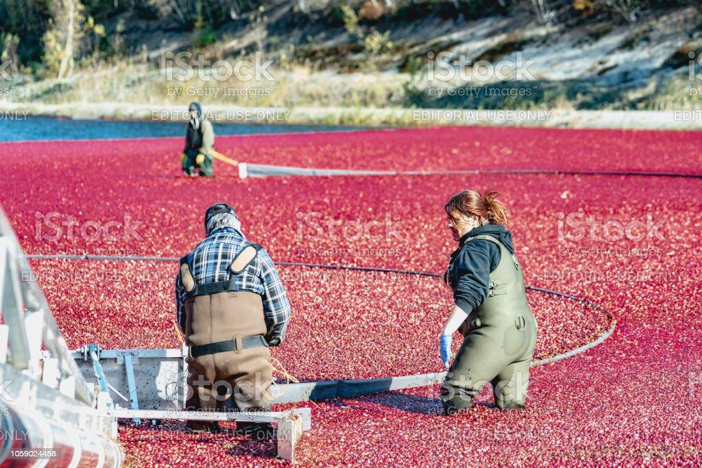 La récolte des canneberges au Québec - Photo