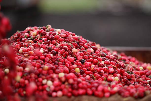 Cranberry Ernten – Foto
