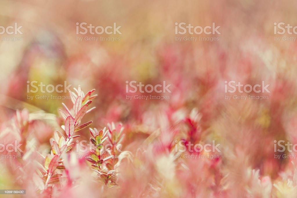 Feuillages de plant de canneberge - Photo