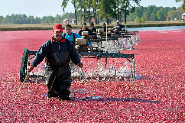 Cranberry Season A group of workers wet harvesting cranberries in a commercial bog. More cranberry farming images. migrant worker stock pictures, royalty-free photos & images
