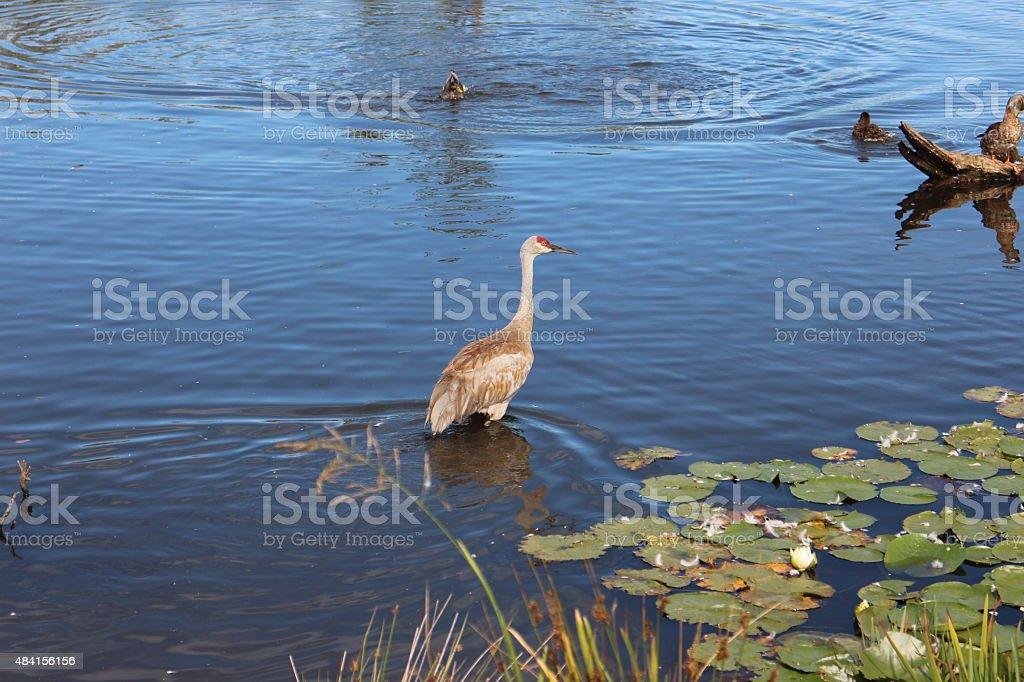 Sandhill crane wading in shallow water