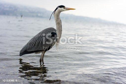 istock crane bird standing in water, wintertime 1015308516