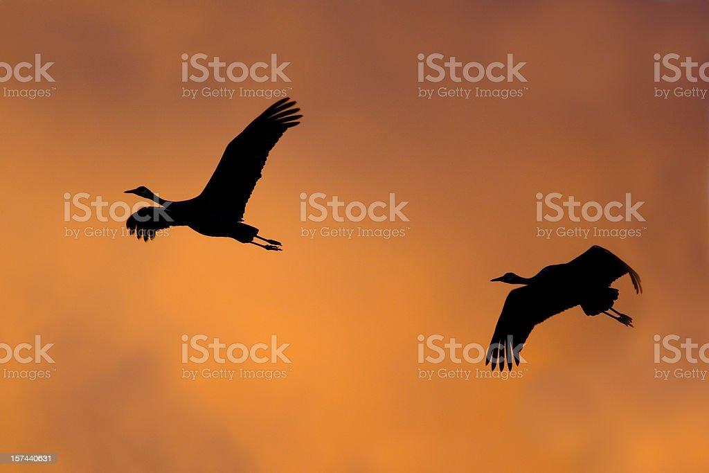 Crane Birds Flying at Sunset royalty-free stock photo