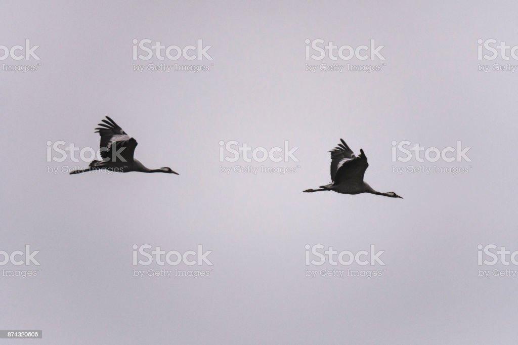 Crane birds or Common Cranes feeding in a field near Diepholz in...