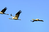 istock Crane birds or Common Cranes flying in mid air  during the autumn migration 1278552674