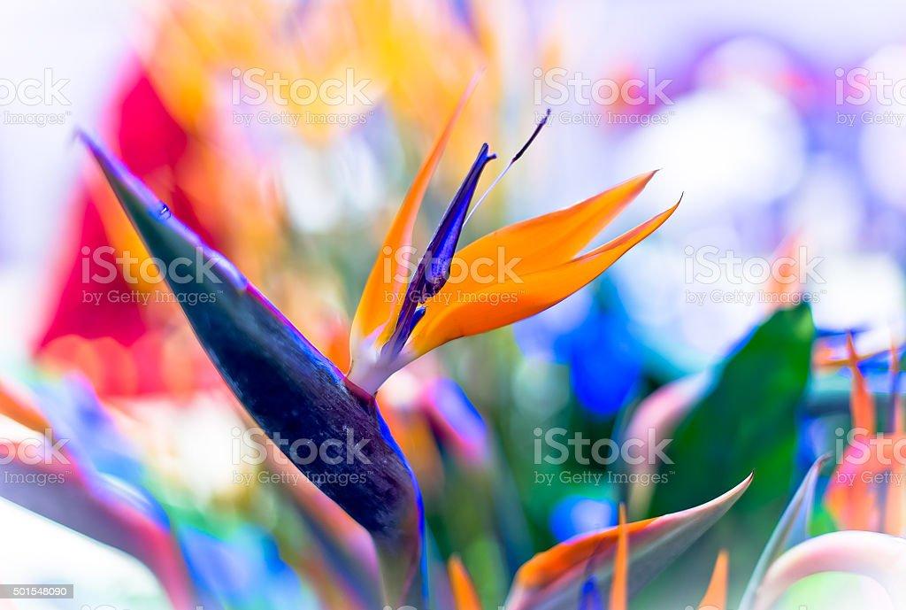 Crane Flower or Bird of Paradise stock photo