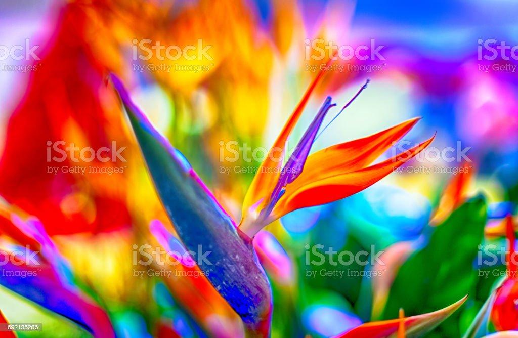 Crane flor o ave del paraíso - foto de stock