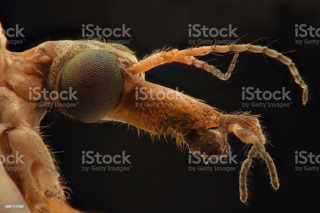 Crane Fly extreme closeup stock photo