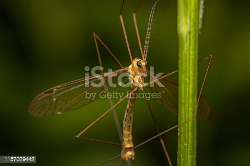 detail of head and antenna of crane fly