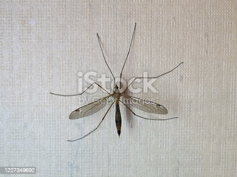 crane fly mosquito aka daddy longlegs of animal class Insecta (insects)