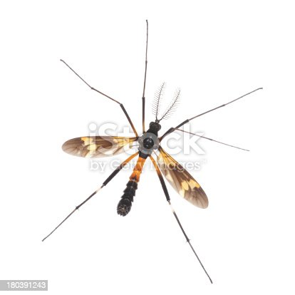 Closeup of crane fly or daddy long-legs,Tipula maxima,isolated on white background,This large insect was found in China,