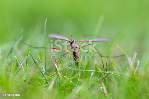 Crane fly in grass dipping and laying egg