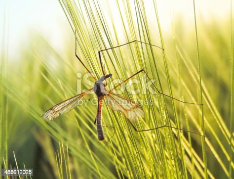 Crane fly in the afternoon sun