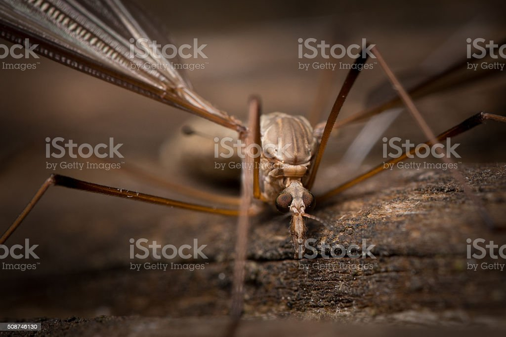Crane Fly resting on a piece of wood. stock photo