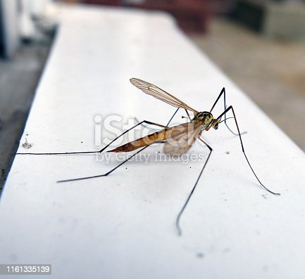 A Daddy Long Legs close up side view showing body and head details and intricacy.