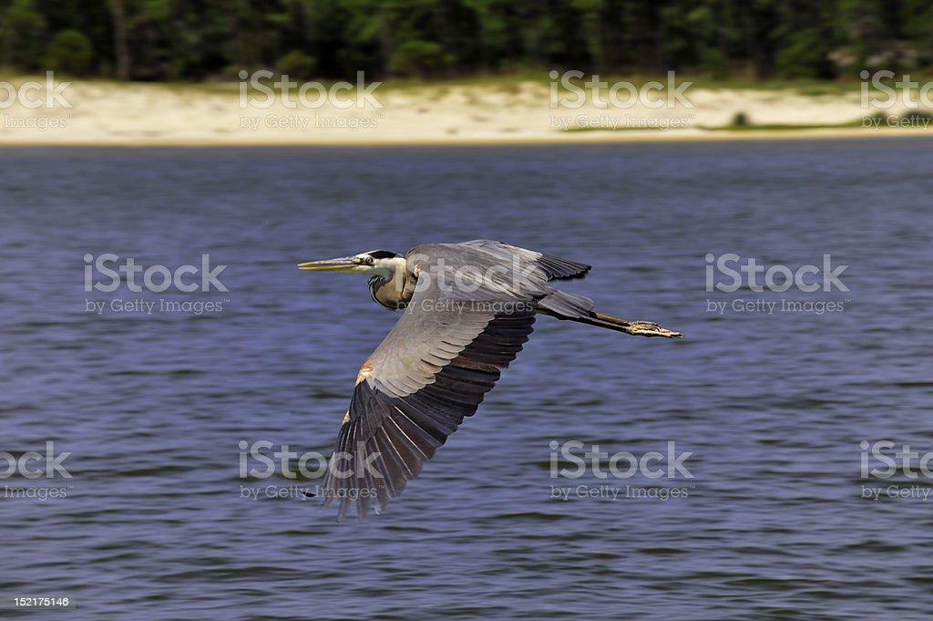 Crane Flying Over Alabama Shores royalty-free stock photo
