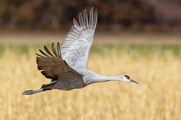 Crane Flying stock photo