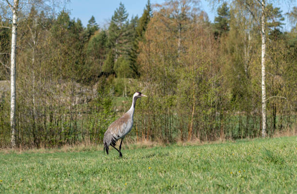 Kran i svensk skog bildbanksfoto