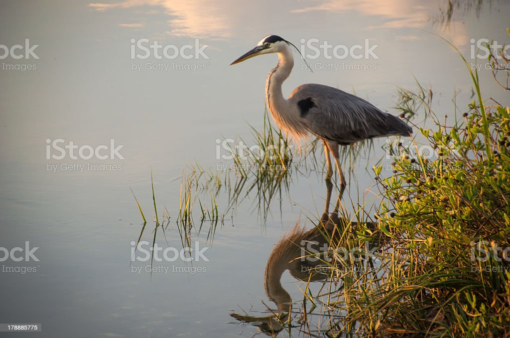A crane is enjoying the morning calm stock photo