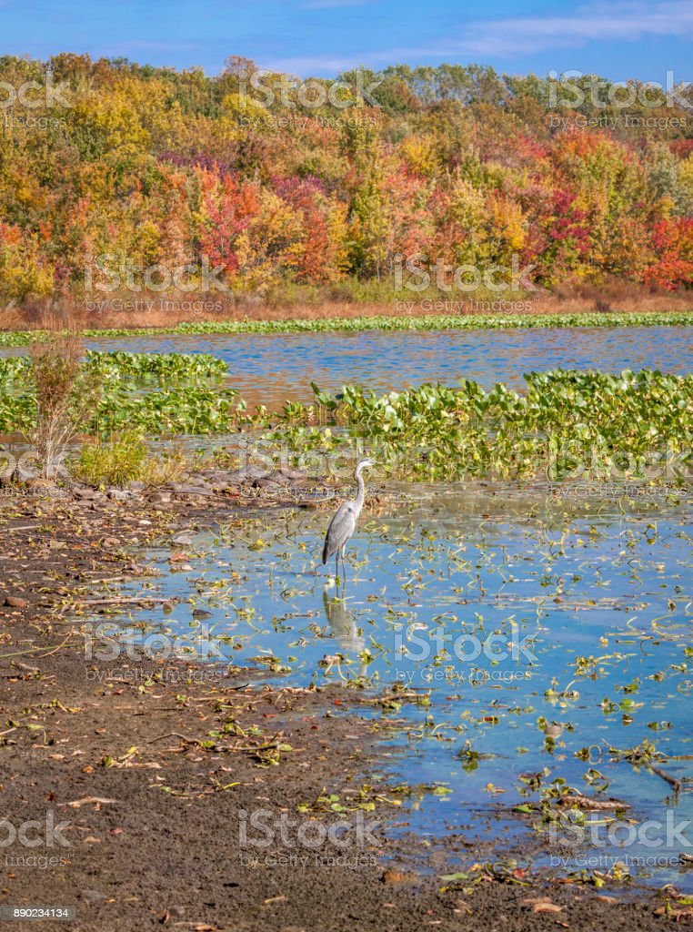 Crane, Lake, Trees in Autumn Colors (Foliage) and Blue Sky at Rockland Lake State Park, Hudson Valley, New York. stock photo