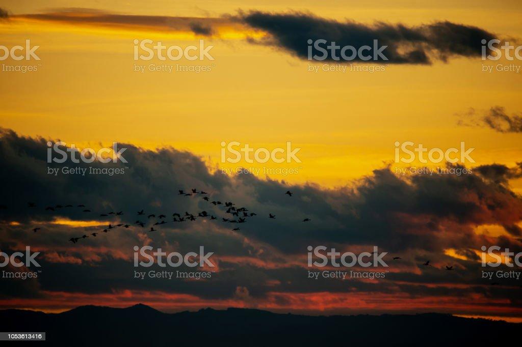crane migration at sunset - back lighted shot - Burgenland Austria