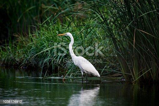 Crane in swamp.