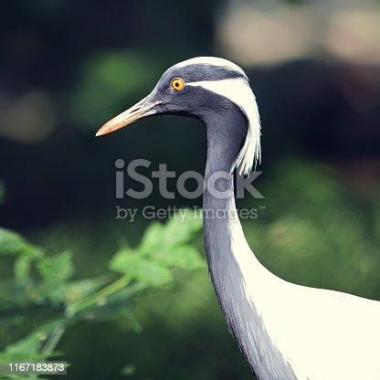 Portrait of crane.