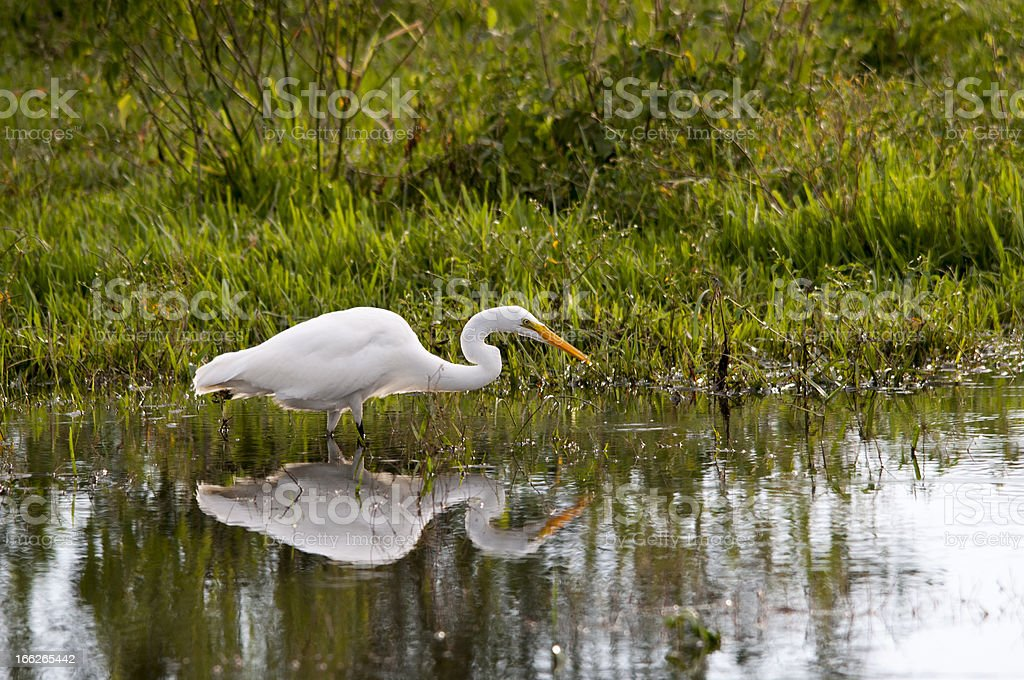 Crane searching for food in a pond royalty-free stock photo