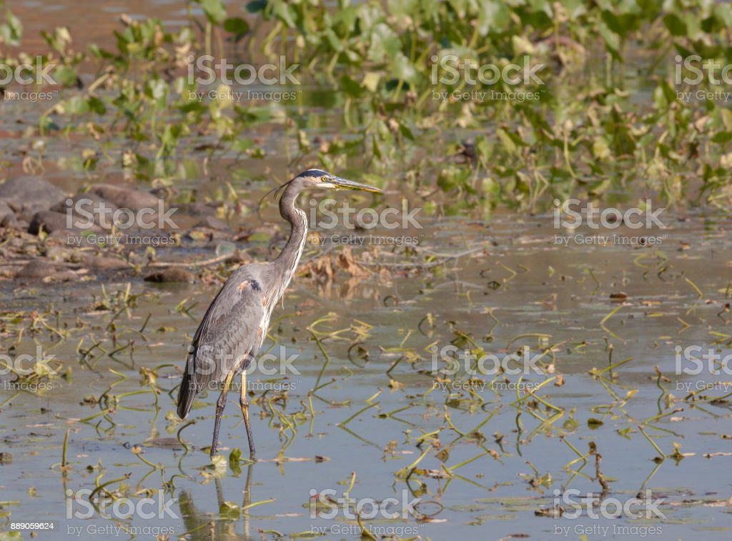 Crane Standing in Water at Rockland Lake State Park, Hudson Valley, New York. stock photo
