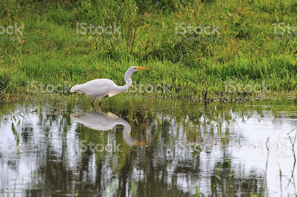 Crane wading in a pond royalty-free stock photo