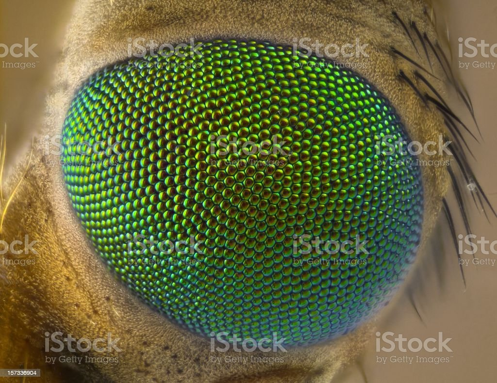 Cranefly eye stock photo