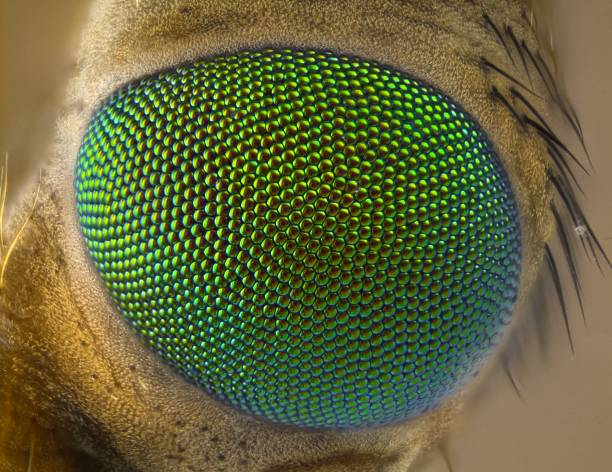 Cranefly eye stock photo