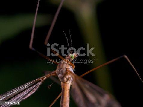 Cranefly (Daddy long-legs) macro