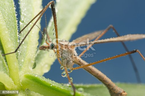 Digital photo of a cranefly with dew photographed early morning.