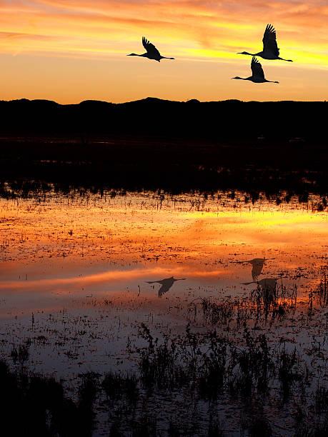 Cranes at Bosque del Apache stock photo