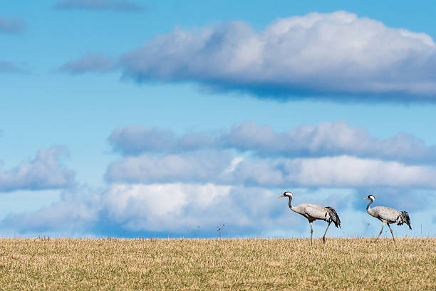 Cranes during spring in Sweden stock photo