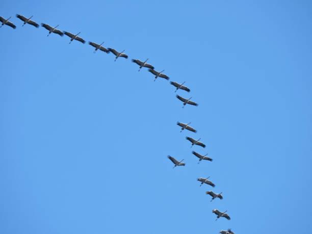 Kraniche fliegen – Foto