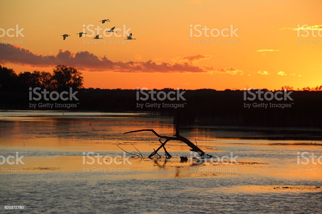 Cranes flying at sunset over Marsh water zbiór zdjęć royalty-free