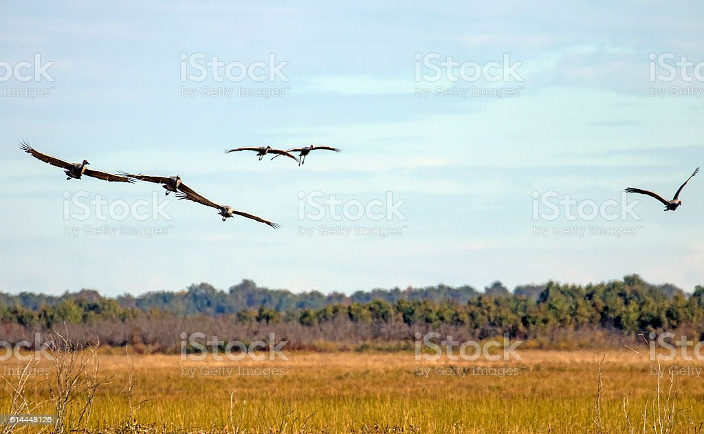 Cranes flying over a field stock photo