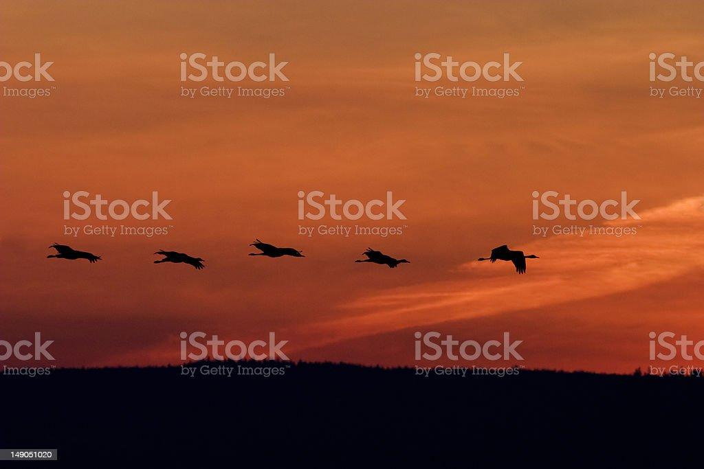 Cranes flying royalty-free stock photo