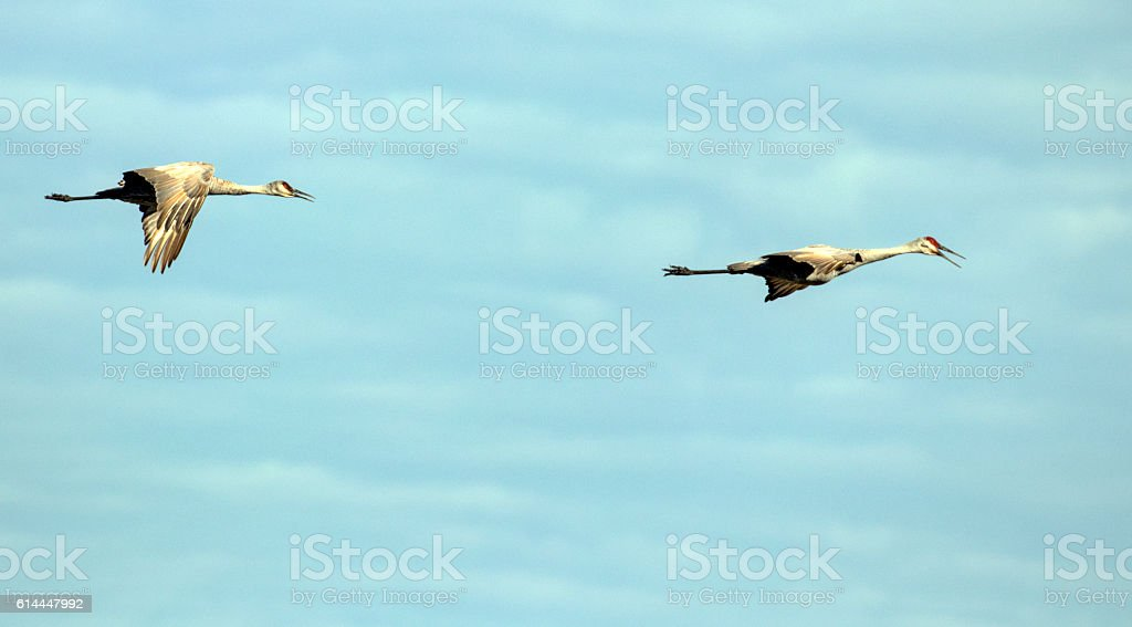 Cranes flying through the summer skies stock photo